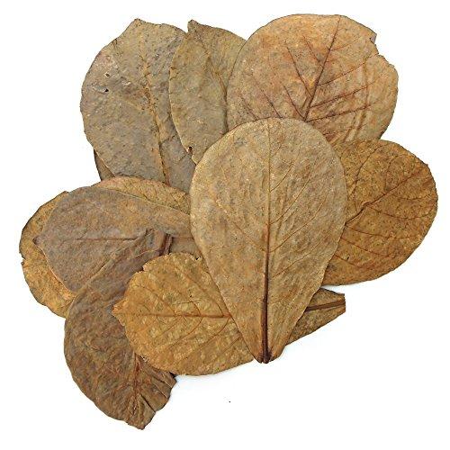 Tantora Premium Grade Catappa Indian Almond Leaves Size Xl 18-30cm by Tantora