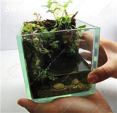 Vert mousse Graines 120 Pcs exotiques rares Graines Bonsai Moss Belle Moss Boule décorative Jardin créatif herbe Graines Plante en pot 15