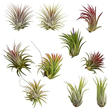 CTS Air Plants Assorted Tillandsia Ionantha(10 Pack)-Low-Maintenance House Plants for Indoor Decoration (10-Pack Assortment) by
