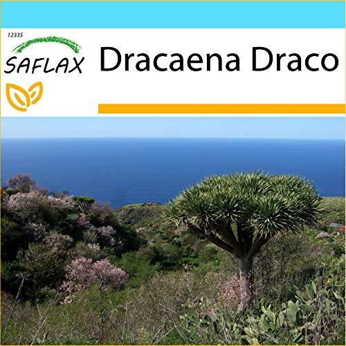 SAFLAX - Set regalo - Drago de Canarias - 5 semillas - Con caja regalo/envío, etiqueta para envío, tarjeta de felicitación y sustrato de cultivo y fertilizante - Dracaena Draco