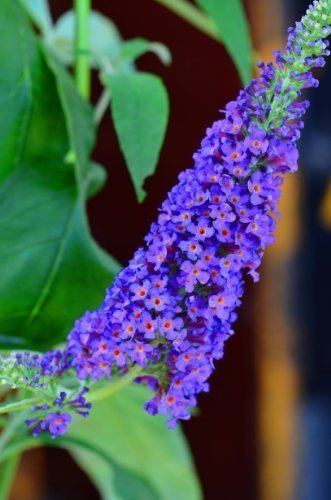 Schmetterlingsstrauch Buddleja Empire Blue 40 - 60 cm im 3 Liter Pflanzcontaier