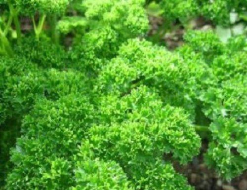 Frisé mousse persil 250 graines extrêmement foncé persil vert