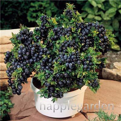 Bloom Green Co. Vente! 100 Pcs/sac bonsaïs aux bleuets comestibles de plantes fruitières Heirloom Bio Nain Blueberry Bonsaï Plante en pot pour jardin: 19