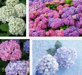 100 Hydrangea Samen Blumensamen Naturia Macrophylla Garten Pflanze Blume Bonsai