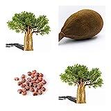 Affenbrotbaum (Afrikanischer) -Adansonia digitata - Baobab Frucht -10 Samen