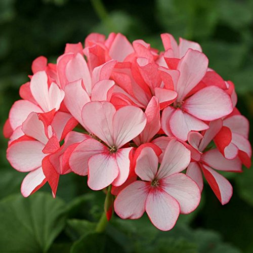 Inovey 10ST seltene Geranien Samen Appleblossom Rosebud Pelargonium mehrjährige Blumen Samen