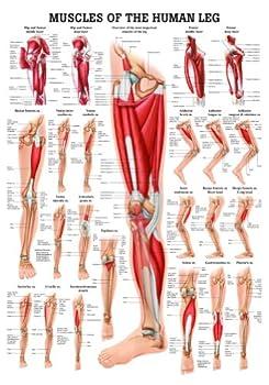 leg muscles chart