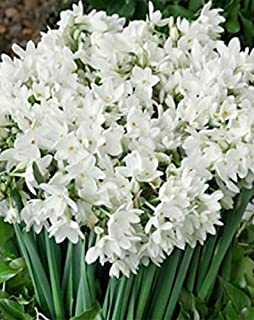 10 'Ziva' Paperwhites Flower Bulbs 14/15cm Bulbs