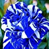 100 Pcs/Sac Graines De Rose Rare Prolifique Bleu Bonsaï Plantes De Jardin Graines De Fleurs Pour Balcon Plante Jardin Graines Graines de rose #1