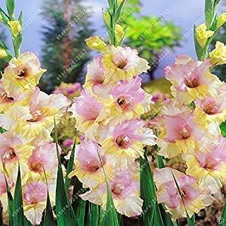 レアルグラジオラスの球根、花の球根レアソードリリー好気性鉢植え盆栽の装飾ガーデン(グラジオラスないシード) - 2電球4