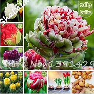 FD1697 Cineraria Seed Senecio Cruentus Garden Flower Seeds ~1 Pack 30 Seeds~