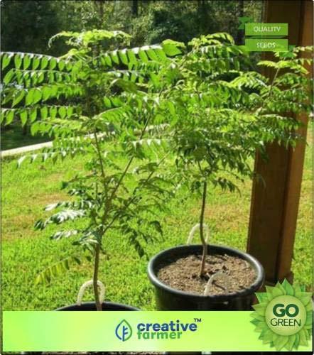 FERRY Hohe Wachstum Seeds Nicht NUR Pflanzen: Seed Süßte Neem-Samen für Küche Seed (20 pro Paket)