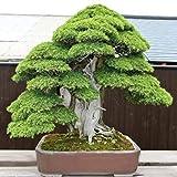 Adolenb Pinus Wallichiana (Excelsa) Kiefer - Himalaya - lange blau-grünen Nadeln Bonsai oder exotisch/Zimmerpflanze
