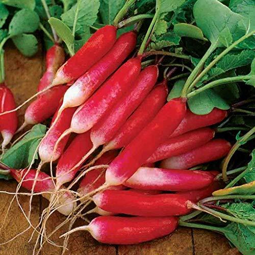 Français petit déjeuner Radis Heirloom Seeds saveur non OGM délicieux Gourmet Long (250)