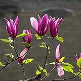 Semi di fiori di magnolia viola denudata 5 pezzi semi di piante aromatiche dolci premium fresche organiche per piantare giardino cortile