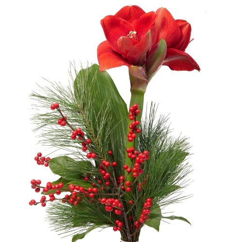 Blumenversand - Blumenstrauß - in der Adventszeit - eine schöne dunkelrote Amaryllis - arrangiert mit Ilexzweig - mit Gratis Grußkarte Deutschlandweit versenden