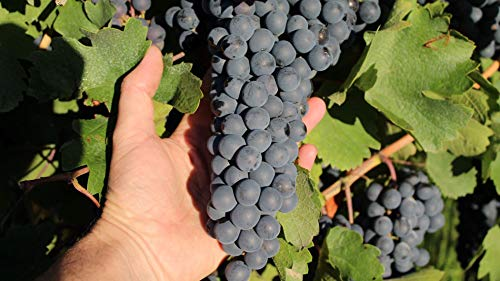 Harvest a Grape: A guided walking tour of an Argentine vineyard
