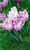 Bloom Green Co. 150 piezas Freesias Bonsai Gorgeous Colorful & amp; Arreglo de Semilla Fragante Orquídea Fresia Rizoma Bulboso Flores, Hogar, Patio, Balcón: 17