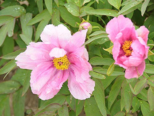 Peony Roots Garden Home Ornamental Decoration Rare Species Exotic Pretty Gorgeous,8 Peony Roots