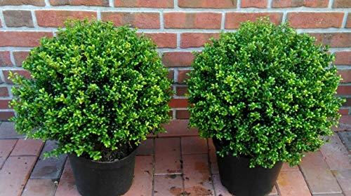 2 Stück Ilex crenata Stokes, Kugel, Durchmesser: 40-45 cm, Alternative Buchsbaum + Dünger