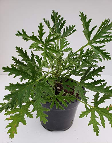 Signature Plants - Citronella Mosquito Plant in 4' Nursery Flower Pot - Easy to Grow