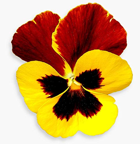 25 graines Fleurs - PENSEE Géante de Suisse - Viola tricolor