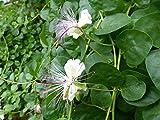 Cespuglio di capperi, rosa di Flinders - semi