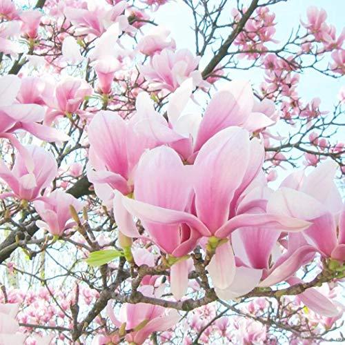 KEPTEI Samen - 20 Stück Magnolie Blume Baum Rosa duftenden Tulpe Magnol Liliiflora-Samen