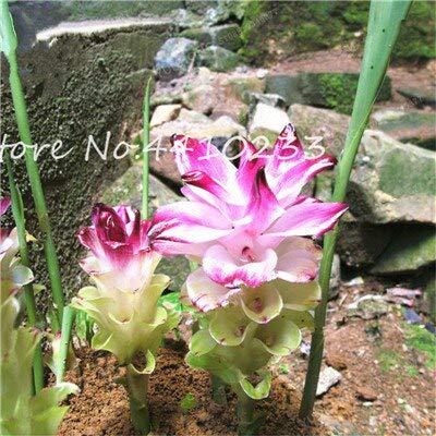 Generic Fresh 100 Stk. Curcuma Blumensamen zum Pflanzen von Pink 6