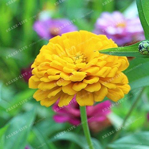 100PCS Zinnia Graines rares Variété chaleur Tolerant Jardin Fleur Plantes à fleurs en pot Charme chinois Fleurs Graines Facile croissance 20
