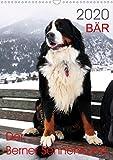 BÄR - Der Berner Sennenhund (Wandkalender 2020 DIN A3 hoch): Fotokalender mit Hundefotografien (Monatskalender, 14 Seiten ) (CALVENDO Tiere)
