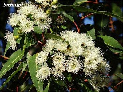 100 PC/Beutel seltene Regenbogen-Eukalyptus-Blüte Samen, Tropischer Baum Samen, Eukalyptus-Anlage für Hausgarten Zier Bonsai 1