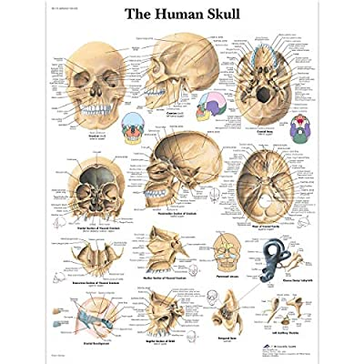 3B Scientific Human Anatomy - Human Skull Chart, Paper Version by 3B Scientific