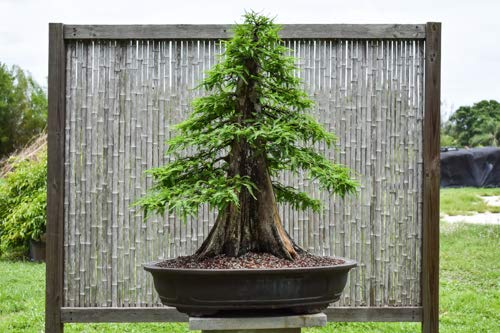 Bonsai Tree Bald Cypress Seeds for Planting | 10 Seeds | Exotic Evergreen Tree Seeds to Grow - Fruit Bearing Bonsai Tree Seeds