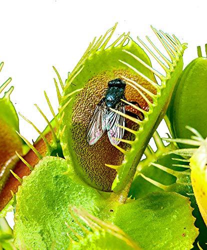Venusfliegenfalle/ca.100 Samen/Fleischfressende Pflanze/Faengt Insekten /