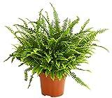 Dehner Schwertfarn Green Lady, stark gefiedert, ca. 50-55 cm, Topf Ø 17 cm, Zimmerpflanze