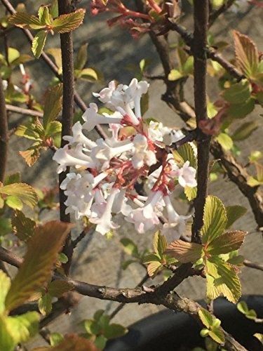 Winterschneeball Dawn 60-100 cm Busch für Sonne-Halbschatten Zierstrauch rosa-weiß blühend Gartenpflanze winterhart 1 Pflanze im Topf