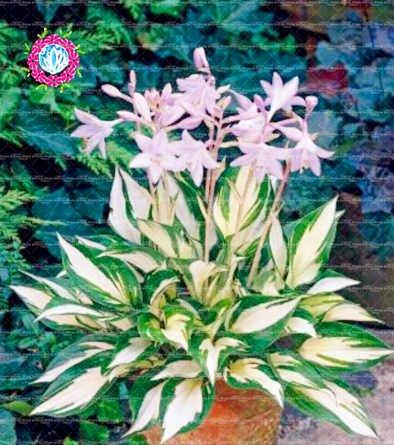 , Les graines de 50pcs Anthurium, graines en pot, graines de fleurs, variété complète, le taux de 95% en herbe, (couleurs mélangées) 1