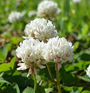 SeedRanch White Dutch Clover Seed: Nitro-Coated & Inoculated - 10 Lbs.