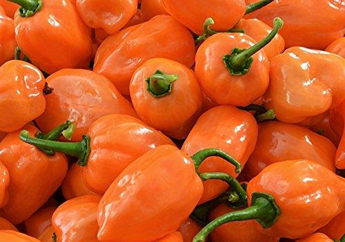Orange Habanero Hot Pepper Seeds- 50+ Seeds