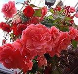 Portal Cool Rose Pink Knollenbegonie Regenbogen-Mix Non Stop Non-Stop Tuber 10 Samen