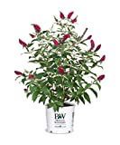 Proven Winner Miss Molly Buddleia 2 Gal, Pink and Red Blooms