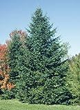 Abeto balsámico, Abies balsamea, semillas de árboles de hoja perenne (fragante, Bonsai) 30