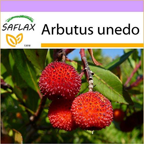 SAFLAX - Árbol de las fresas - 50 semillas - Arbutus unedo