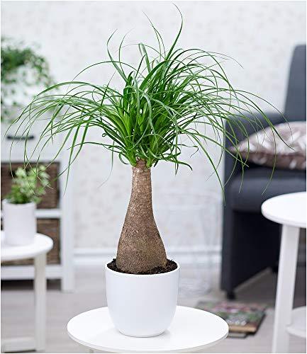 BALDUR Garten Elefantenfuß im 17 cm Topf,1 Pflanze Nolina recurvata, Beaucarnea Flaschenbaum, Wasserpalme