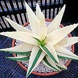 Adolenb Seeds House- 100 Pièces Aloe Vera Graine Rare À Base De Plantes Naturelle Plante Cosmétique Bonsaï Graines Succulentes Plantes D'intérieur