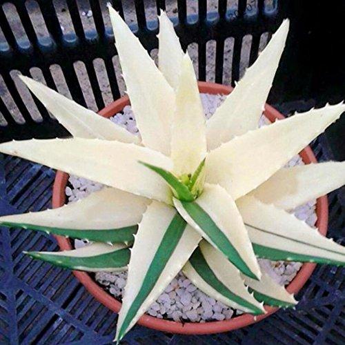 Beautytalk-Garten 100 Stück Aloe Vera Samen Seltene Kräutersamen Natürliche Pflanzen Kosmetische Bonsai Sukkulenten Samen Zimmerpflanzen