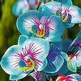 toyheart 100pcs semi di fiori premium, semi di phalaenopsis piante aromatiche di cymbidium piantine di fiori di orchidee perenni per ufficio blu