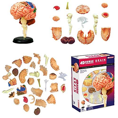 FXQ Humana Modelo anatómico del Cerebro - 32 Desmontable de Piezas de Enseñanza Médica Modelo -para Médico Educativo ayudas a la formación, Rompecabezas de Montaje del Juguete