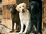 Three Labrador Retrievers Poster Print
